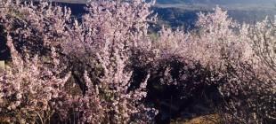 En febero, la flor del almendro